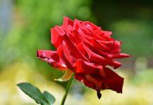 rosa, flor,