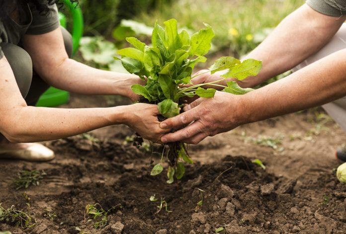 agricultores colocando uma muda de planta